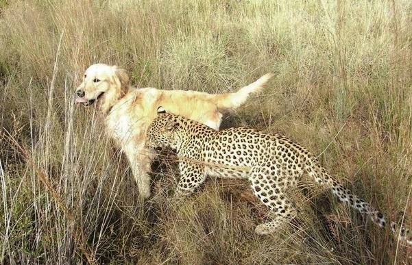 a-leopard-and-golden-retriever-4