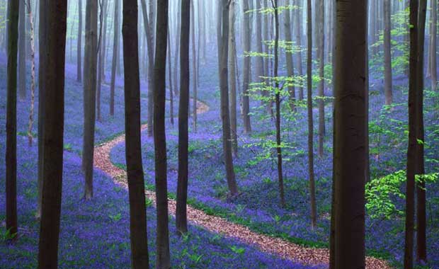 Belgium Hallerbos Forest